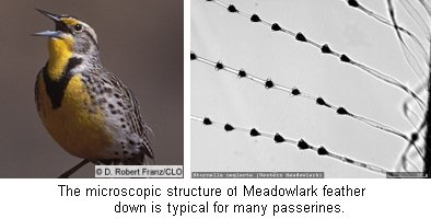 Meadowlark and Feather Close Up View